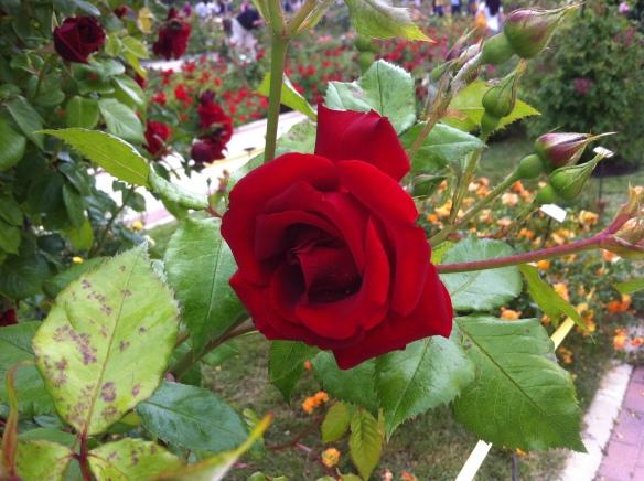 Concurso Internacional de Rosas Nuevas, Madrid